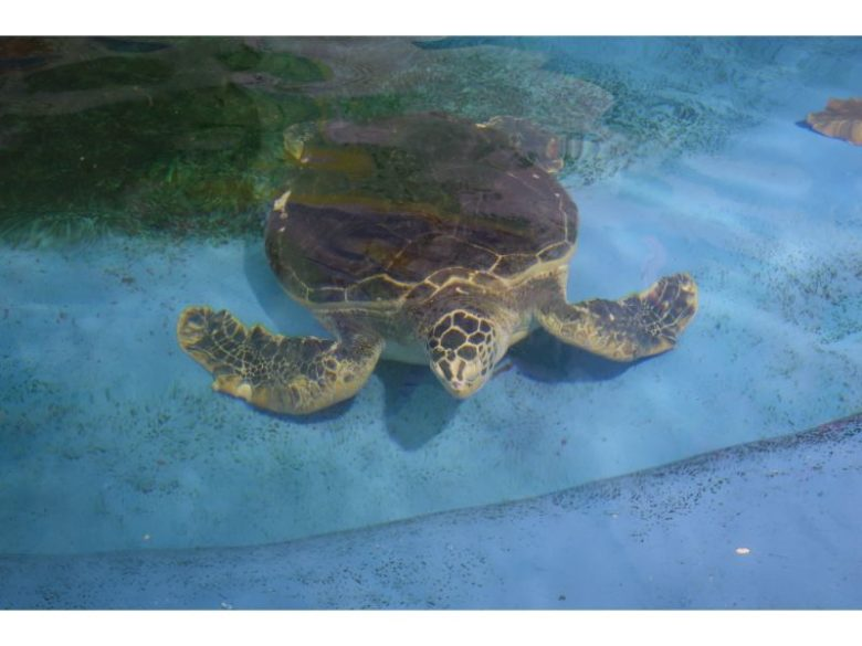 おたる水族館のウミガメ
